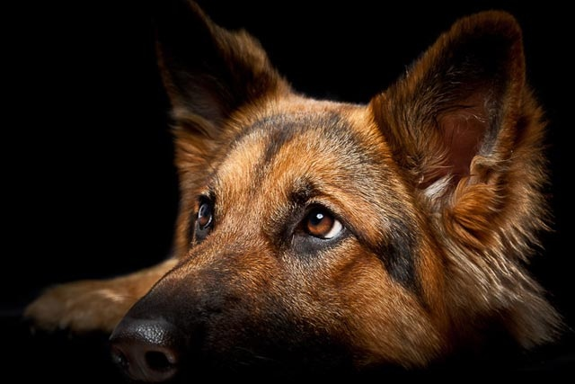 https://istoriesadespoton.gr/sites/default/files/styles/blog_684x400/public/1-german-shepherd.jpg?itok=zvgF5qQ4